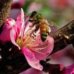 apis-mellifera-in-peach-blossom