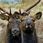 elk-cow-and-bull