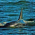 orcinis-orca-kenai-fjords