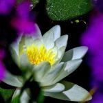 pond-lily-tara-creek