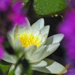 pond_lily_tara_creek