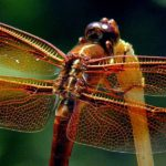 red-skimmer-libellula-saturata